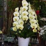 胡蝶蘭黄色8寸 36輪 アポロン ¥10,000